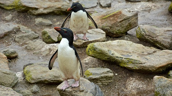 Rockhopper penguins (Rotspinguin) - Falkland Islands