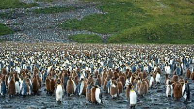 6 - King penguins - South Georgia - Salisbury Plain