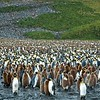 6 - King penguins - South Georgia - Salisbury Plain