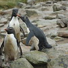 5 - Rockhopper penguins - Rotspinguin