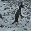 8 Adélie Penguins - Adeliepinguin