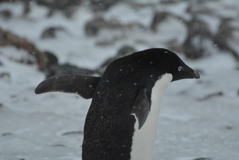 8  Adélie Penguin -- Adeliepinguin