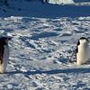 9 Chinstrap penguin  - Stormbandpinguin
