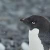 8 Adélie Penguin -  Adeliepinguin