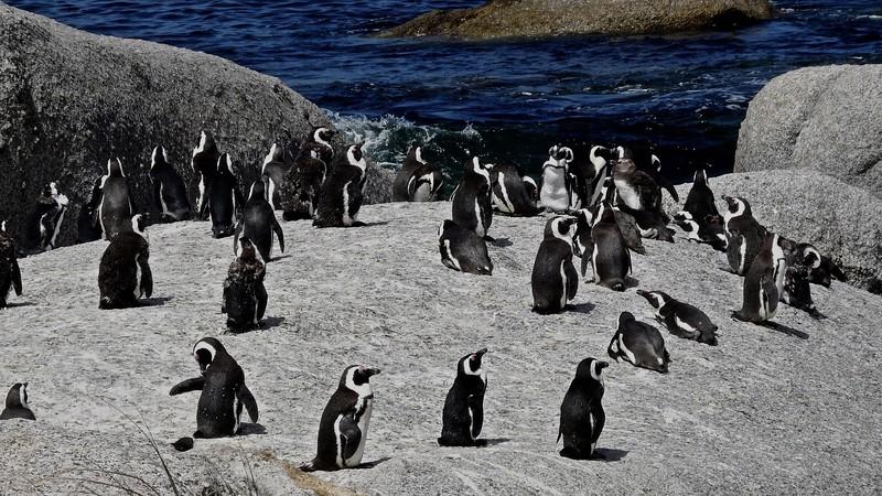 1 - Humboldt penguins  (zwartvoetpinguïn of brilpinguïn)