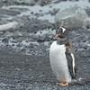 7 Gentoo penguin - Ezelspinguin -