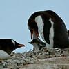 7 Gentoo penguin - Ezelspinguin