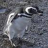 4- Magellanic penguin - Magelhaenpinguin
