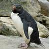 5 - Rockhopper penguin - Rotspinguin