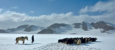 Herd of yaks in the Altai Mountains