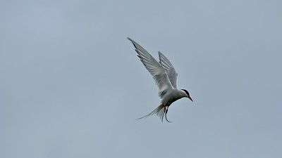 Arctic Tern (Sterna paradisaea) - Island Nólsoy