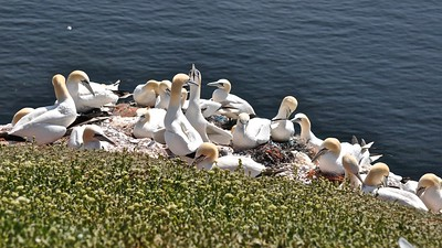 Helgoland - Northern gannet (Jan-van-gent)
