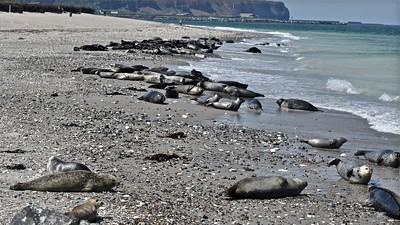 Helgoland - Dune : Grey seal (Grijze zeehond)