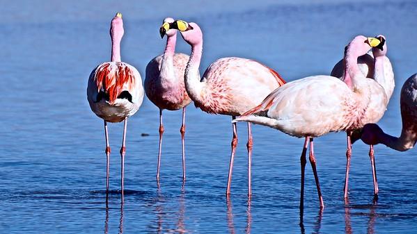 Jame's Flamingo's