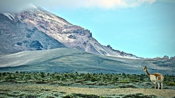 Chimborazo -Alpaca (Vicugna pacos)