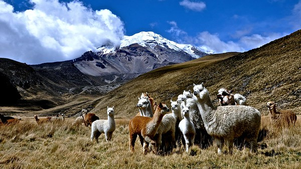 Alpacas in front of Chimborazo - Volcano, 6310 m