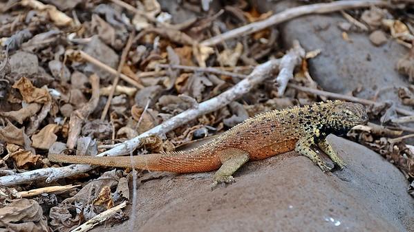 Lava Lizard (Lavahagedis)