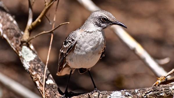 Galapagos Mockingbird (Kleine galapagosspotlijster)