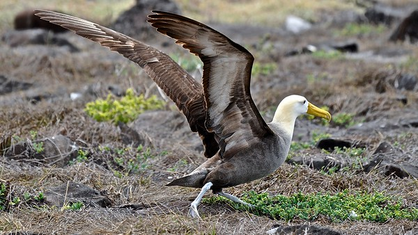 Waved Albatross - Galapagosalbatros
