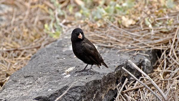 Darwin's finches (Darwin Vink)