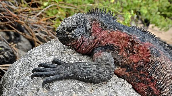 Marine Iguanas (Zeeleguaan)