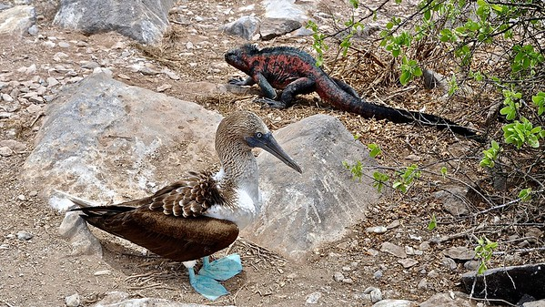 Blue-footed Booby + Marine Iguanas