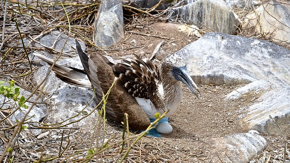 Blue-footed Booby (Bluawvoetgent)
