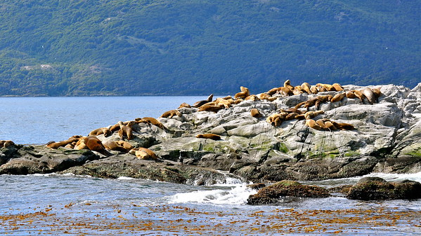 Sea lions on the Beagle Channel