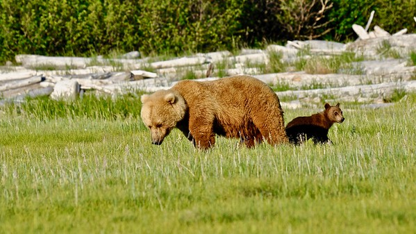 Katmai NP - Brown Bears