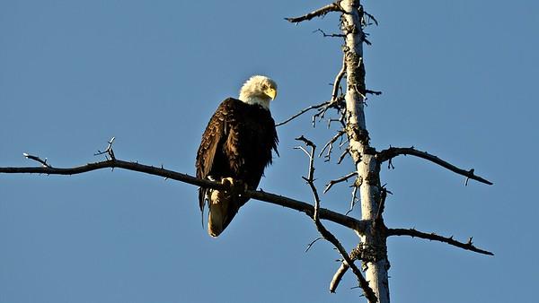 Bald Eagle (Amerikaanse zeearend)
