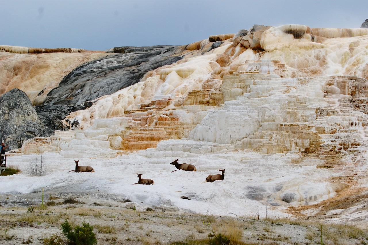 Elk all around Mammoth Hot Springs