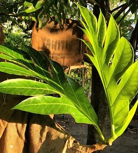 TAHITIAN BOTANICALS | TAMAR ILANIT