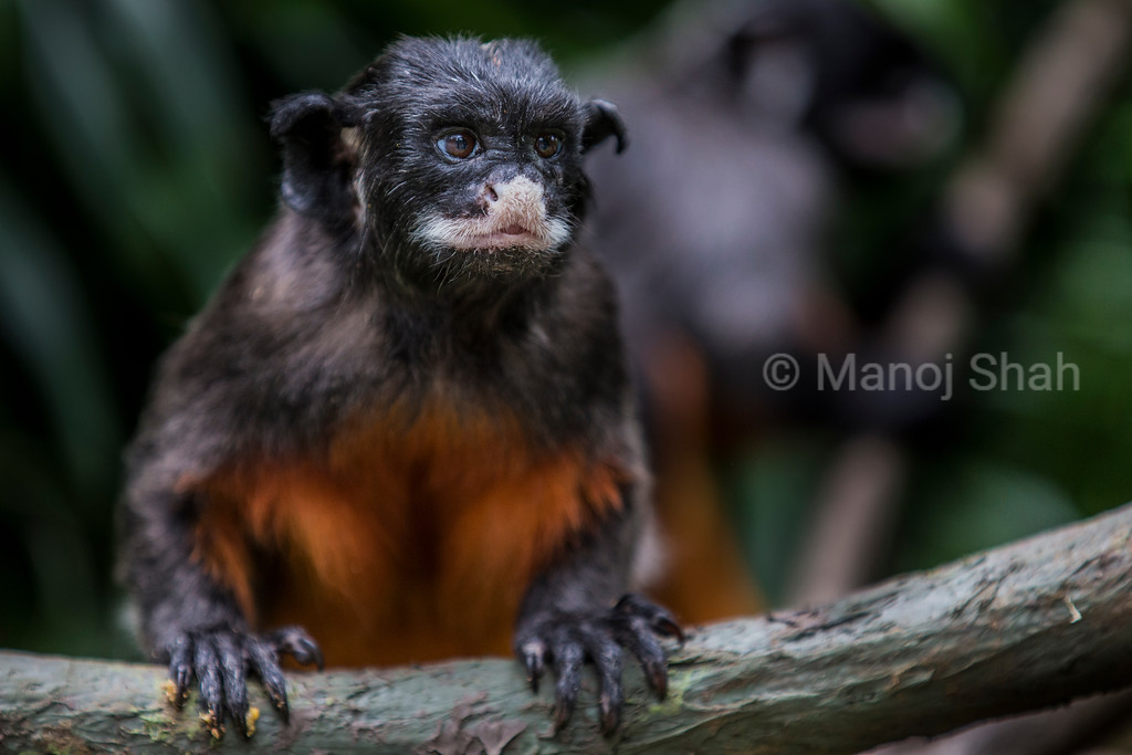 Red-Bellied Tamarin