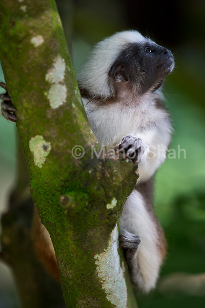 Cotton-headed Tamarin