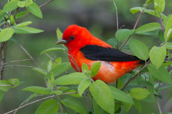 Scarlet Tanager male up close in greenery • South Spring Pool, Montezuma NWR, NY • 2019