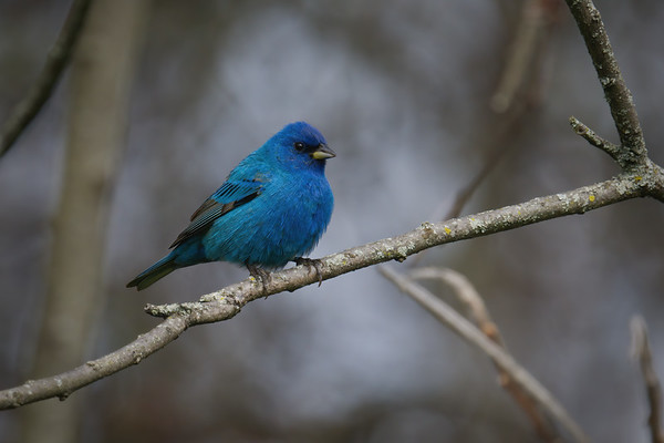 Indigo Bunting breeding male puffed up • Sterling Nature Center, Sterling NY • 2020