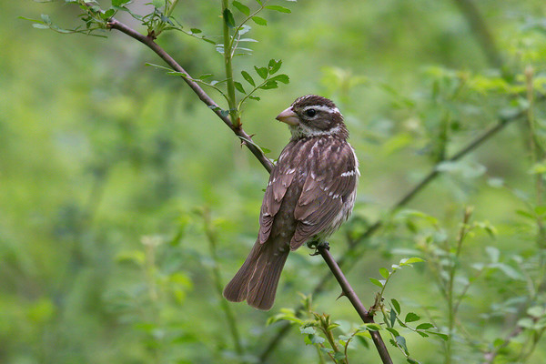Rose-breasted Grosbeak female poses on vine • Howland Island, Northern Montezuma WMA, NY • 2018
