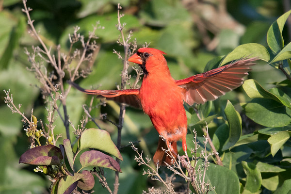 Northern Cardinal male takes flight amid greenery • South Onondaga, NY • 2017