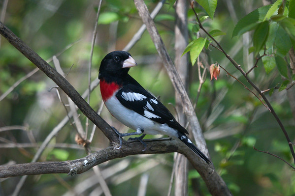 Rose-breasted Grosbeak breeding male • Skaneateles Conservation Area, NY • 2016