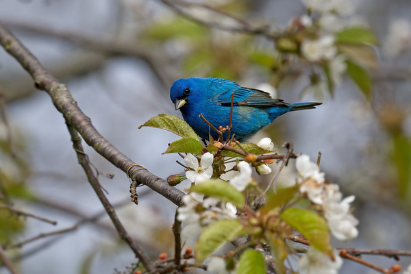 Indigo Bunting breeding male in flowering tree • Sterling Nature Center, Sterling NY • 2020