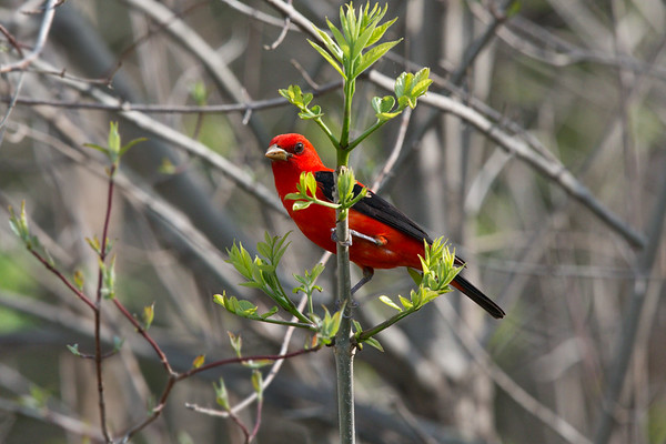 Scarlet Tanager breeding male on budding plant • Magee Marsh, OH • 2015