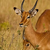 ANTELOPES : 1 gallery with 9 photos