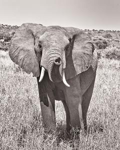 TANZANIA - ELEPHANTS