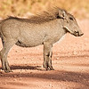 WARTHOGS : 1 gallery with 2 photos