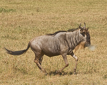 WILDEBEAST on the RUN