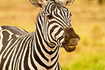 TANZANIA - ZEBRAS and WILDEBEASTS