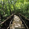Boardwalk through a mangrove swamp