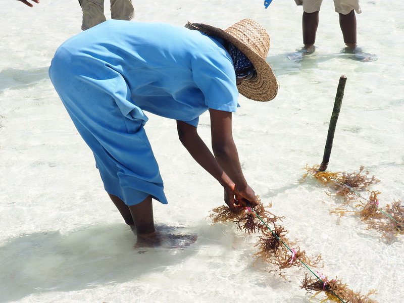 Laying out and planting the seaweed