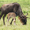 Wildebeest with calf