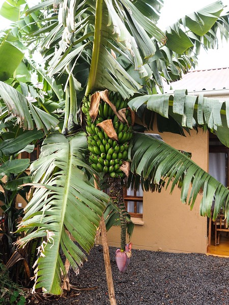 Banana tree in front of our room at the Farm Valley Lodge